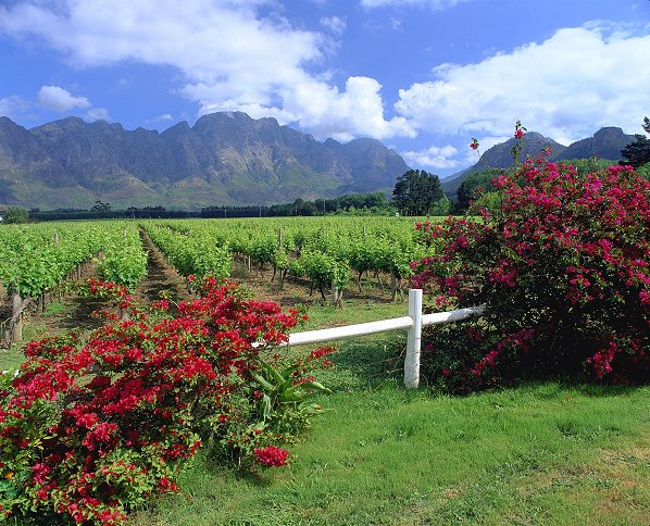 Wingerde by Franschhoek